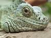 Green Iguana headshot (Melian, Grey Wanderer) Tags: macro green animal closeup zoo budapest iguana dpsgreen