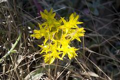 (quashlo) Tags: flower wildflower stonecrop sanbrunomountain sedumspathulifolium broadleafstonecrop