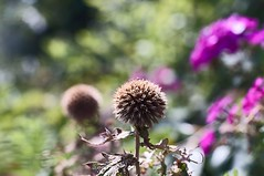 ball (turntable00000) Tags: flower japan was tokyo globe thistle sony dry it 365   nex kiyose 366     turntable00000