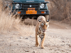 Luxury Tiger Tourism! (Koshyk) Tags: tiger ranthambhore supershot pantheratigristigris flickrdiamond blinkagain tigertourism