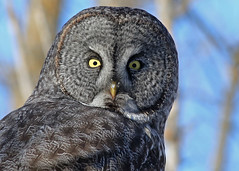 Great Gray Owl...#7 (Guy Lichter Photography - Thank you for 2.8M views) Tags: canada bird birds animal animals canon wildlife manitoba owls selkirk breezypoint canon14xteleconverter canonef400mmf56l avianexcellence owlgreatgray 5d3 birdperfect amazingwildlifephotography