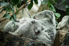 Koalas - Edinburgh Zoo - Sun 16 March 2014 -5838 (Mr Andy J C) Tags: cute love animal zoo scotland hug edinburgh unitedkingdom sleep mother koala sct edinburghzoo cityofedinburgh queenslandkoala 16march2014