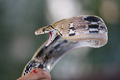Often there will be blood (N808PV) Tags: blood rat snake handler copperhead radiata radiated coelognathus