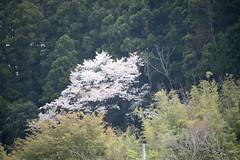 20140412-_DSC3864 (Fomal Haut) Tags: flower green spring nikon hana         nikond4  mineoka