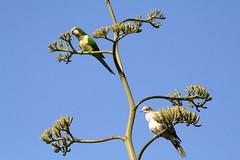 Cotorra de kramer y tórtola conviviendo en la flor de la pita  Psittacula krameri streptopelia  turtur