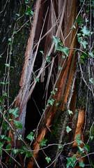 DSCN1417 (VerlynC) Tags: tree falling hickory