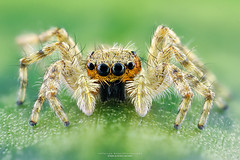 Spider (Jefferson Allan - Photographer) Tags: macro natureza infrared paisagens fotografiacampinas empilhamentodefoco jeffersonallan fotografojeffersonallan