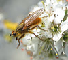 dungfly on blackthorn (conall..) Tags: fly dung blackthorn prunus sloe prunusspinosa dcr250 raynox spinosa dungfly scathophagastercoraria stercoraria scathophaga 300416