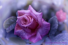 Rosa Barock (Gianni Armano) Tags: rose la photo san italia foto rosa 11 un piemonte che fiori barock gianni parte fa maggio  alessandria giuliano delle nuovo 2016 rampicante meraviglioso stupendi armano nostalgiche