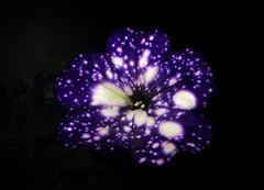 IMG_9150 like a starry night (pinktigger) Tags: flower nature dark violet spots nigh likestars