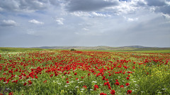 Beautiful invasions (drstar.) Tags: flowers nature wow flickr poppies wildflowers brilliant flickrturkey nikond610