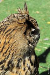 012379 - Ave (M.Peinado) Tags: copyright espaa animal fauna canon spain aves mercado ave animales mercadomedieval castillaylen 2016 laadrada canonpowershotsx60hs 01052016 mayode2016 xivmercadomedieval