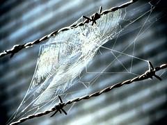 steel vs. silk (b&w) (Jo Borlan) Tags: wire web spiderweb barbed