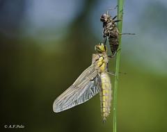 Eclosin de Libellula quadrimaculata.6 (alvarof.polo) Tags: dragonflies liblulas libellulaquadrimaculata metamorfosis odonatos eclosin anispteros