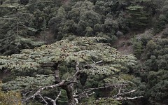 Cedar 2 (orientalizing) Tags: desktop landscape cyprus cedars cypriot featured troodosmountains cedrusbrevifolia endemictrees cypriotcedars koiladatonkedron tripylosregion troodos  valleyofthecedars