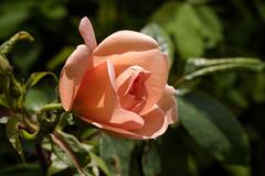 Gestern noch eine Knospe, heute entfaltet sich die Rosenblte - Yesterday it was little more than a bud, today the rose is on the way to a full blossom (riesebusch) Tags: berlin garten marzahn