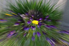 ICM Dandelion _5001 (Barrie Wedel) Tags: longexposure plant abstract motion blur flower texture nature yellow effects experimental image dandelion motionblur icm slowspeed naturephoto abstractphotography creativeshot zoombursts plantblossom intentionalcameramovement motionblureffect