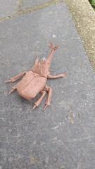 Kabuto Beetle Refold-Design and Fold by Me (Eamon McCandless) Tags: origami beetle kabuto kabutomushi samuraihelmetbeetle aguapapel