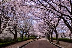 (DSC_3113) (nans0410(busy)) Tags: pink japan way cherry outdoors spring kyoto blossom   sakura kansai   kameoka  sakurapark   kinkiarea