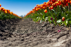 At The End It's Not All That Clear After All (Alfred Grupstra Photography) Tags: colors field bokeh nederland bluesky tulip nl noordholland wervershoof