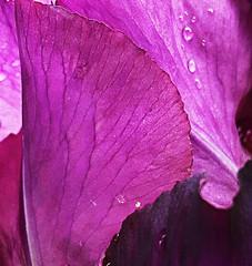 Fleur75 (g1christian) Tags: pink france flower macro art hoja texture nature water motif fleur rose plante de french leaf scenery eau bokeh drop christian dew instant g1 tau moment capture paysage extrieur goutte champ calme feuille organique roco effet profondeur brillant rose blaat soltar capturer g1christian christiang1
