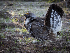 Dusky Grouse (John Clay173) Tags: spring wyoming jacksonhole grandtetonnationalpark gtnp jclay