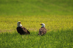 Strange interlude (Irina1010) Tags: nature field birds canon berry couple ngc baldeagle predators interlude outstandingromanianphotographers