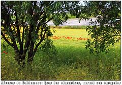 las afueras de Valdemoro a finales de mayo de 2016 (M. Martin Vicente) Tags: cereales almendros amapolas afuerasdevaldemoro mayo2016