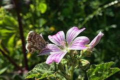 Flor de malva (Pat Celta) Tags: flowers naturaleza flores flower macro primavera nature spring flora nikon flor galicia galiza fotos ourense florecillas macrofotografa