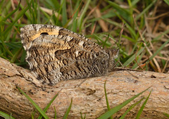 Grayling Butterfly (Severnrover) Tags: butterfly grayling