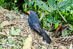 RSS_0112 (RS.Sena) Tags: brazil bird nature forest nikon natureza pssaro atlantic ave birdwatching mata atlntica d7000 sopaulobr