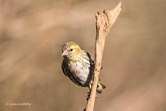 Siskin - Female D75_2367.jpg (Mobile Lynn) Tags: wild england nature birds unitedkingdom ngc npc gb siskin greatphotographer coth specanimal blashford coth5 sunrays5
