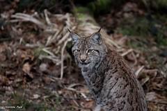 Lynx_FREYJA (Passion Animaux & Photos) Tags: lynx femelle female parc animalier saintecroix france
