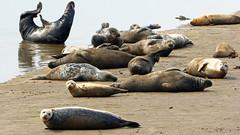 Seal Sands 07-06-16  (101) (Big Warby) Tags: uk england estuary seals middlesborough tees basking united great big river david sands kingdom britain seal tees bigwarby warburton warby seaton carew