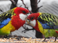 rain on Rosellas (jeaniephelan) Tags: birds rosella parrots australianbird australianparrots rosellaparrot