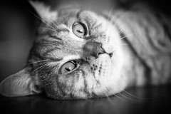 IMGL6936.jpg (k.jenchik) Tags: portrait bw pet cat canon meow bnw scotish 50mmf18 czj pancolar homepet scottishstraight