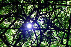 (kacam) Tags: glicinia jardn sol wisteria kacam laconcepcin mlaga