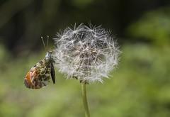 Trop tard pour du nectar (sosivov) Tags: macro butterfly sweden anthochariscardamines stenshuvud theorangetip