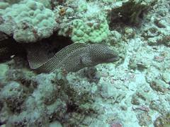 Moray (AZDropTop) Tags: scuba diving