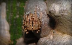 Poltys illepidus (dustaway) Tags: nature australia nsw arthropoda arachnida orbweaver lismore araneae araneidae araneomorphae australianspiders northernrivers araneinae poltysillepidus