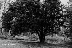 Original (Paul T McDowell Photography) Tags: park camera people blackandwhite tree nature grass weather horizontal digital forest garden season lens landscape photography flora day branch image time cloudy unitedkingdom outdoor year sunny places historic evergreen twig trunk northernireland orientation fineartphotography blackandwhitephotography 2016 2015 taxusbaccatafastigiata florencecourt countyfermanagh sigma1020exdchsm landscapephotographer canoneos500d paultmcdowellphotography paultmcdowell