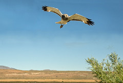 Northern Harrier (Circus cyaneus) (fugle) Tags: inflight hawk nevada raptor reno birdofprey northernharrier marshhawk lemmonvalley