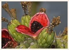 Saguaro Cactus Fruit (gauchocat) Tags: arizonasonoradesertmuseum tucsonarizona