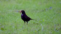 Blackbird (Turdus merula) (jhureley1977) Tags: birds birding turdusmerula blackbird wwt rspb britishbirds bbcspringwatch birdsofbritain avibase ashutoshjhureley bbcsummerwatch ashjhureley