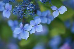 Hydrangea Kobe / Japan (Kashinkoji) Tags: flower nature june 50mm bokeh outdoor sony hydrangea slt a77 ajisai