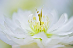 Lenten Waves (Jacky Parker Floral Art) Tags: white flower macro art nature floral rose horizontal closeup garden landscape one spring flora artistic creative double single bloom flowering hellebore softfocus orientation springtime helleborus lenten flowered