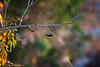 IMG_7248L4 (Sharad Medhavi) Tags: bird canoneod50d birdsandbeesoflakeshorehomes