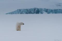 Polar Bear Cub (Sigurd R) Tags: bear norway norge nikon svalbard april polar spitsbergen ursus 2012 maritimus isbjrn d700