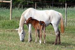 a novidade do dia (tinalves My Eyes) Tags: primavera cavalos