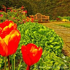 Garden impressions. (Edward Dullard Photography. Kilkenny, Ireland.) Tags: flowers ireland spring tulips impressionism photoart laois edwarddullardphotographykilkenny